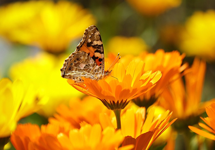 butterfly-yellow-insect-nature-65255